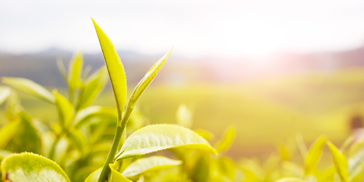 What happens to growers when tea prices go down?